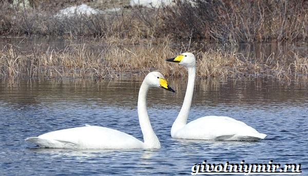 Лебедь-кликун-Образ-жизни-и-среда-обитания-лебедя-кликуна-15