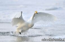 Лебедь кликун. Образ жизни и среда обитания лебедя кликуна