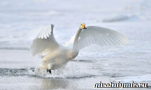 Лебедь-кликун-Образ-жизни-и-среда-обитания-лебедя-кликуна-2-1