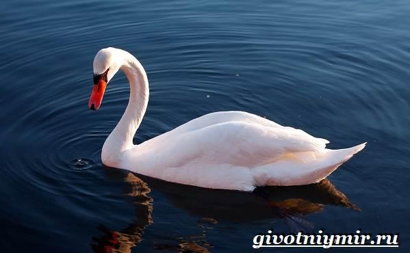 Лебедь-шипун-Образ-жизни-и-среда-обитания-лебедя-шипуна-15