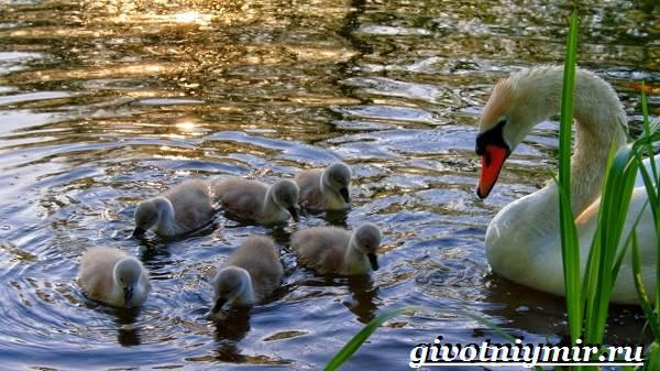 Лебедь-шипун-Образ-жизни-и-среда-обитания-лебедя-шипуна-16