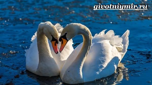 Лебедь-шипун-Образ-жизни-и-среда-обитания-лебедя-шипуна-18
