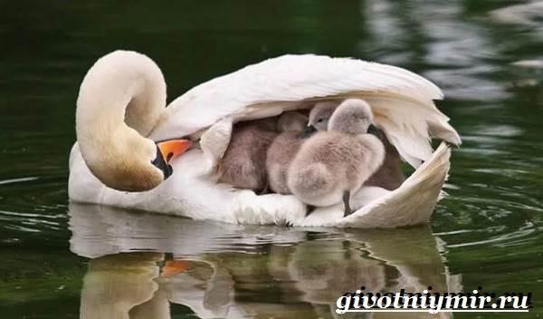 Лебедь-шипун-Образ-жизни-и-среда-обитания-лебедя-шипуна-19