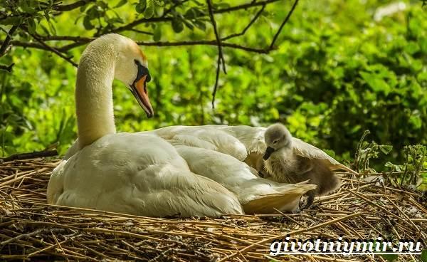 Лебедь-шипун-Образ-жизни-и-среда-обитания-лебедя-шипуна-20