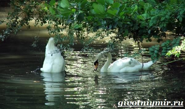 Лебедь-шипун-Образ-жизни-и-среда-обитания-лебедя-шипуна-24