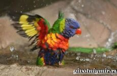 Лори попугай. Образ жизни и среда обитания попугая лори