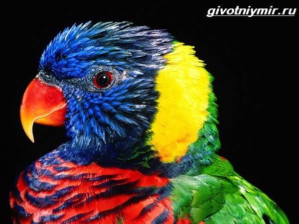 Лорикет-попугай-Образ-жизни-и-среда-обитания-попугая-лорикет-1