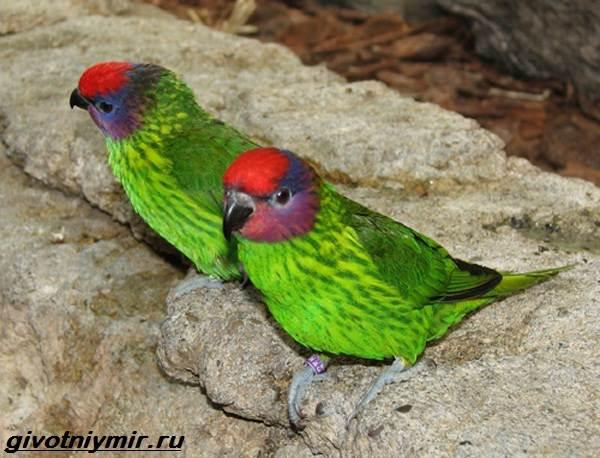 Лорикет-попугай-Образ-жизни-и-среда-обитания-попугая-лорикет-10