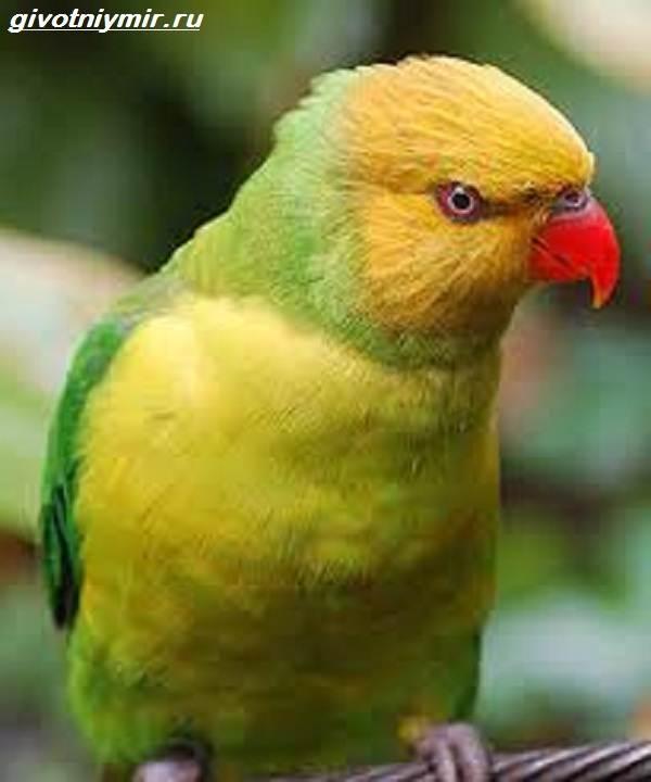 Лорикет-попугай-Образ-жизни-и-среда-обитания-попугая-лорикет-12