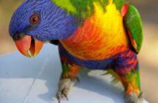 Лорикет попугай. Образ жизни и среда обитания попугая лорикет