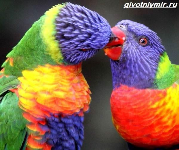 Лорикет-попугай-Образ-жизни-и-среда-обитания-попугая-лорикет-3