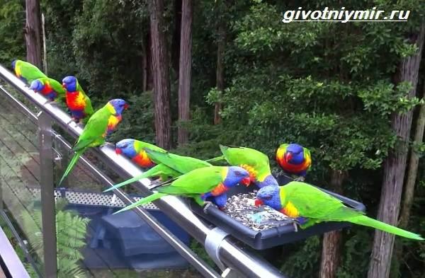 Лорикет-попугай-Образ-жизни-и-среда-обитания-попугая-лорикет-4
