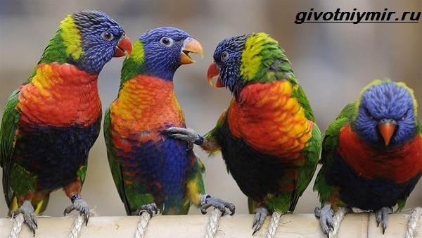 Лорикет-попугай-Образ-жизни-и-среда-обитания-попугая-лорикет-5