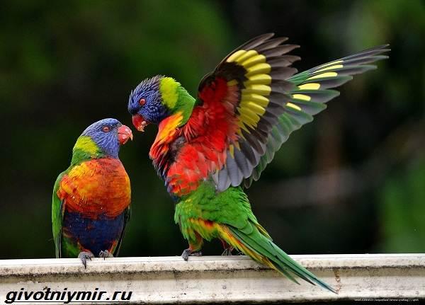 Лорикет-попугай-Образ-жизни-и-среда-обитания-попугая-лорикет-7