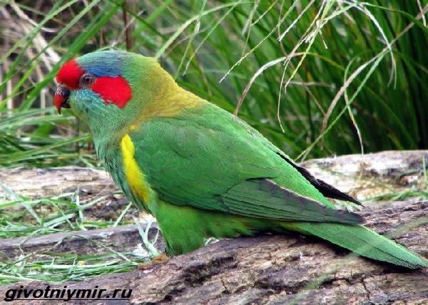 Лорикет-попугай-Образ-жизни-и-среда-обитания-попугая-лорикет-9