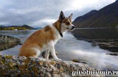 Лундехунд порода собак. Описание, особенности, уход и цена лундехунда