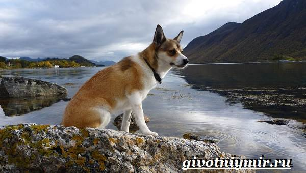 Лундехунд-порода-собак-Описание-особенности-уход-и-цена-лундехунда-1