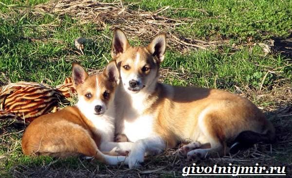 Лундехунд-порода-собак-Описание-особенности-уход-и-цена-лундехунда-3
