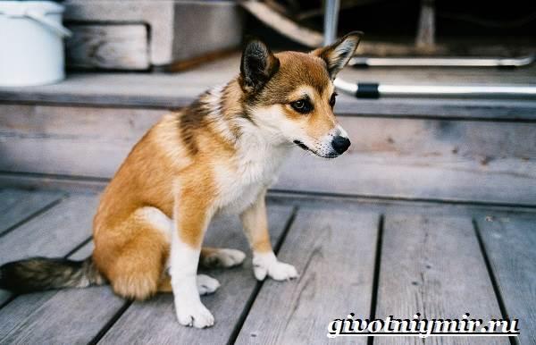 Лундехунд-порода-собак-Описание-особенности-уход-и-цена-лундехунда-5