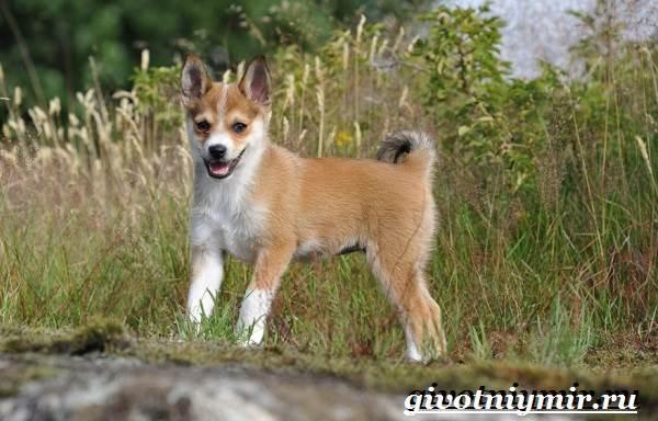 Лундехунд-порода-собак-Описание-особенности-уход-и-цена-лундехунда-7
