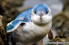 Малый пингвин. Образ жизни и среда обитания малого пингвина