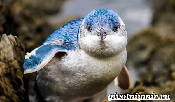 Малый-пингвин-Образ-жизни-и-среда-обитания-малого-пингвина-1
