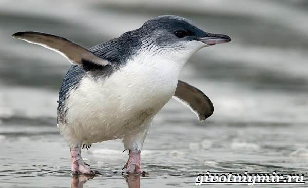 Малый-пингвин-Образ-жизни-и-среда-обитания-малого-пингвина-2