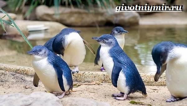 Малый-пингвин-Образ-жизни-и-среда-обитания-малого-пингвина-3