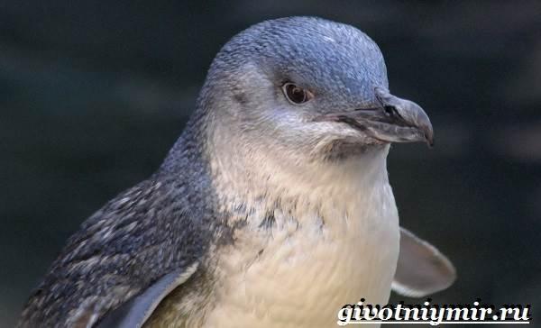 Малый-пингвин-Образ-жизни-и-среда-обитания-малого-пингвина-4