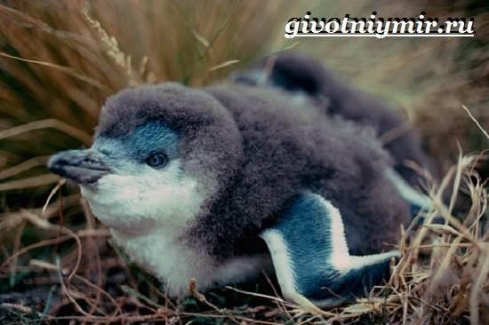 Малый-пингвин-Образ-жизни-и-среда-обитания-малого-пингвина-7