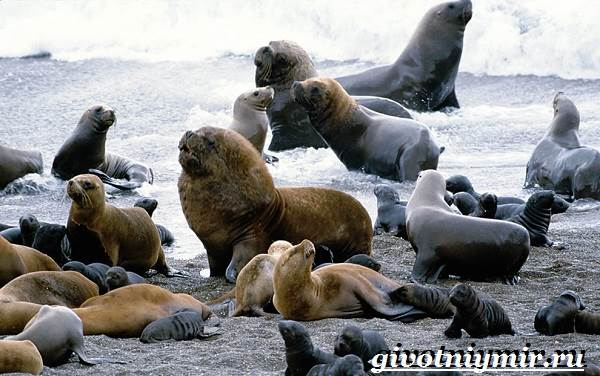 Морской-лев-Образ-жизни-и-среда-обитания-морского-льва-11