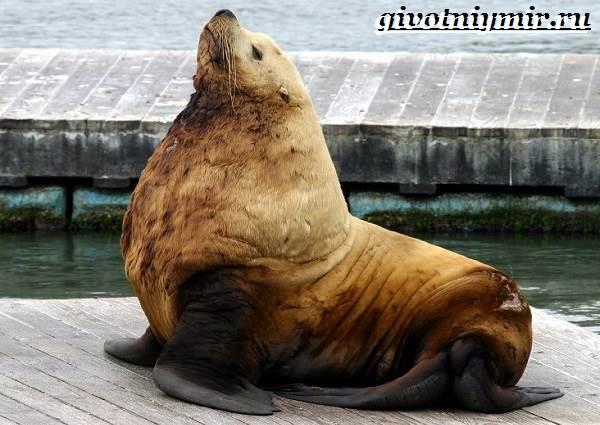Морской-лев-Образ-жизни-и-среда-обитания-морского-льва-12
