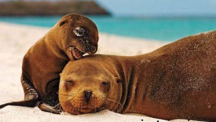 Морской лев. Образ жизни и среда обитания морского льва