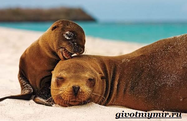 Морской-лев-Образ-жизни-и-среда-обитания-морского-льва-13