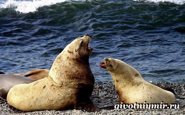 Морской-лев-Образ-жизни-и-среда-обитания-морского-льва-3