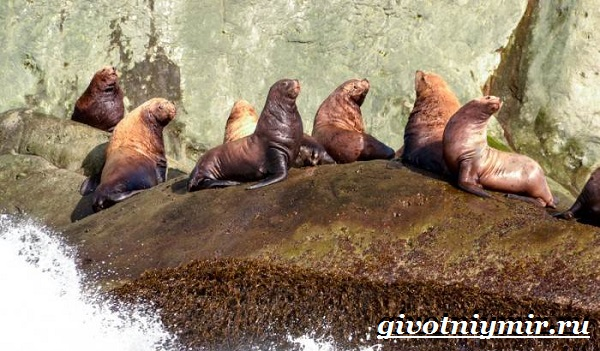 Морской-лев-Образ-жизни-и-среда-обитания-морского-льва-6