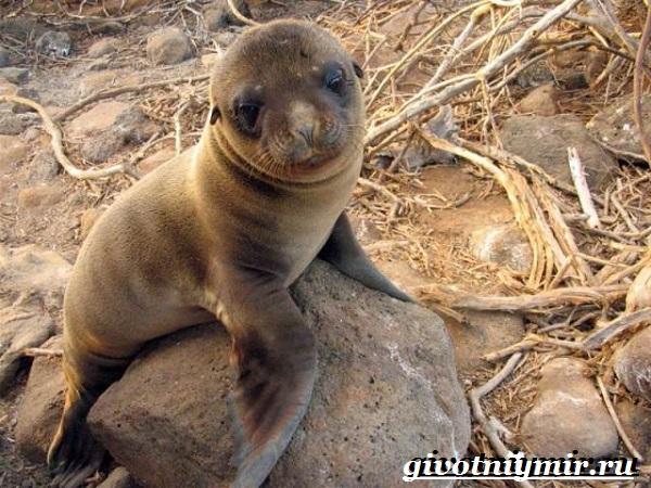 Морской-лев-Образ-жизни-и-среда-обитания-морского-льва-8