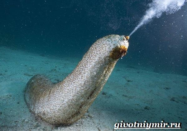Морской-огурец-Образ-жизни-и-среда-обитания-морского-огурца-13