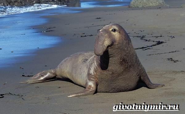 Морской-слон-Образ-жизни-и-среда-обитания-морского-слона-1
