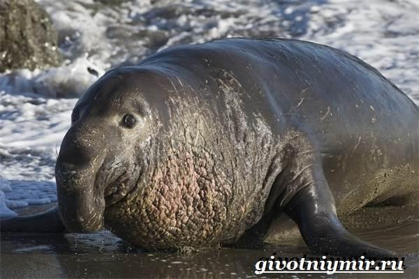 Морской-слон-Образ-жизни-и-среда-обитания-морского-слона-2