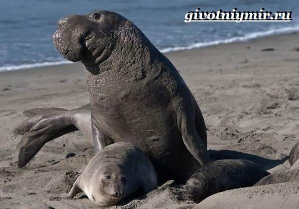 Морской-слон-Образ-жизни-и-среда-обитания-морского-слона-7