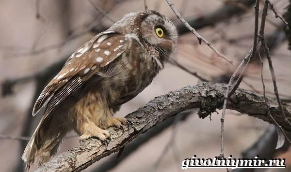 Мохноногий-сыч-Образ-жизни-и-среда-обитания-мохноногого-сыча-6