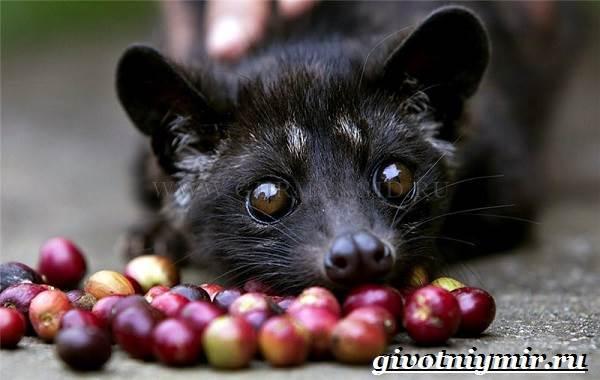 Мусанг-животное-Образ-жизни-и-среда-обитания-мусанга-2