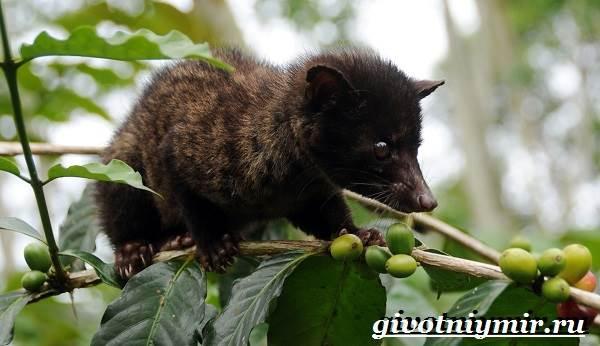 Мусанг-животное-Образ-жизни-и-среда-обитания-мусанга-3