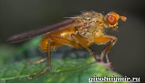 Муха-дрозофила-Образ-жизни-и-среда-обитания-мухи-дрозофила-1