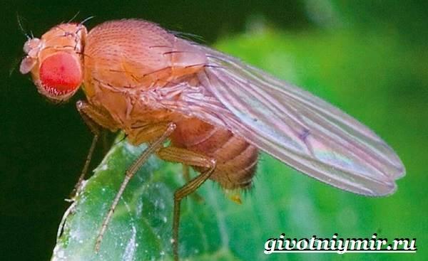 Муха-дрозофила-Образ-жизни-и-среда-обитания-мухи-дрозофила-2