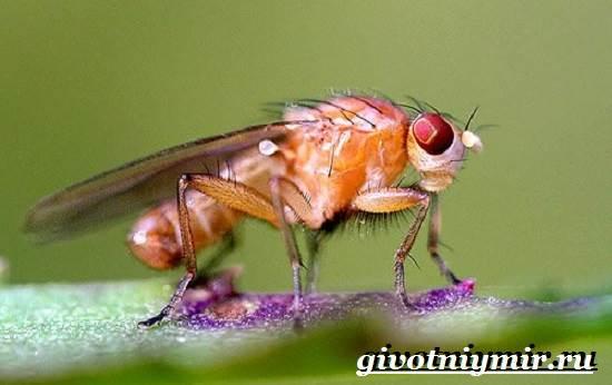 дрозофилы мухи фото