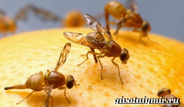 Муха-дрозофила-Образ-жизни-и-среда-обитания-мухи-дрозофила-7