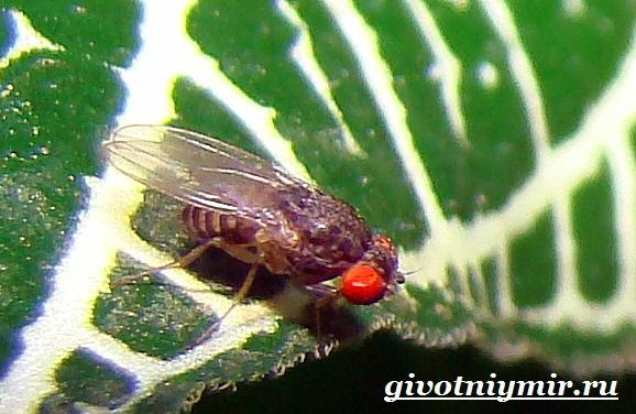 Муха-дрозофила-Образ-жизни-и-среда-обитания-мухи-дрозофила-8