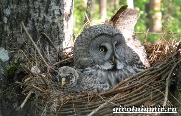Неясыть-сова-Образ-жизни-и-среда-обитания-птицы-неясыть-11